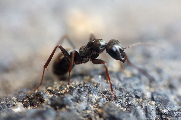 How to Get Rid of Ants Using a Least Toxic